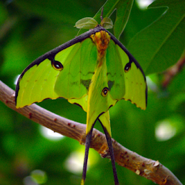 Luna Moth by Jason Gaston - Animals Insects & Spiders ( luna, tree, green, moth, large )