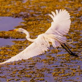 View from the top by Gary Duncan - Animals Birds ( bird, flight, eggret, pond, heron )