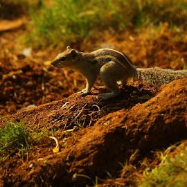 by Sesha Giri - Animals Other (  )