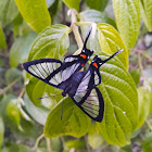 Chorinea butterfly