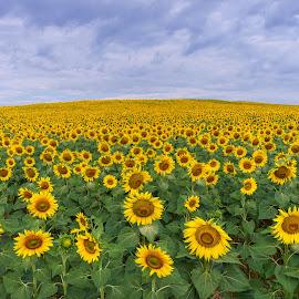 Sunflower Field by Hasim Sahin - Landscapes Prairies, Meadows & Fields ( ayçiçeği, merzifon, sunflower, turkey, amasya )