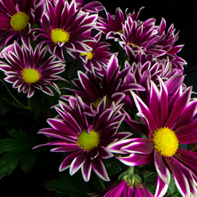 Spray of Daisies by Petra Bensted - Flowers Flower Gardens ( nature, purple, colors, daisies, plants, flowers, garden )