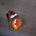 Leopard Lacewing - male