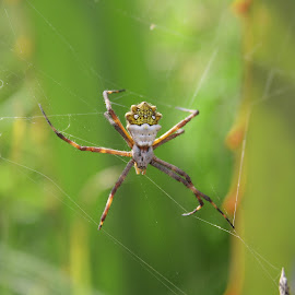 Orb Weaver Spider Waiting in its Web by Robert Hamm - Animals Insects & Spiders ( ecuador, nature, cotacachi, orb weaver spider, outdoor, arachnid, web, spider, rural, spider web )
