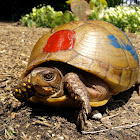 Three-toed box turtle (female)
