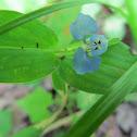 Dayflower Species