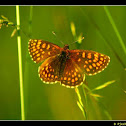 Little Fritillary