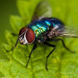 The common greenbottle by Chris Froome - Animals Insects & Spiders ( invertebrate, macro, nature, fly, greenbottle, diptera, wildlife, insect, lucilia caesar, close up )