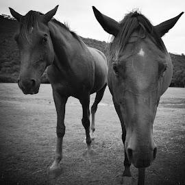 curiosities by Mariska Brink - Animals Horses