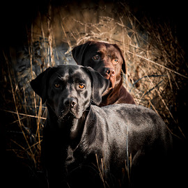 The Duo by Chris Bradshaw - Animals - Dogs Portraits ( hunting dogs, labs, dogs, working dogs, gun dogs, labradors, black lab, chocolate lab,  )