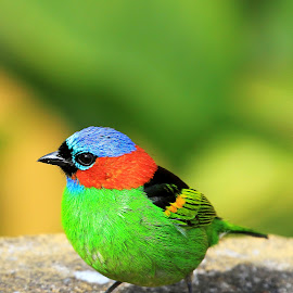 Red-necked Tanager !! by Itamar Campos - Animals Birds ( morrees, tanager, red-necked tanager, parana, saíra militar )