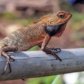 Orange Lizard by Husni Mubarok - Animals Reptiles (  )