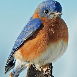 Eastern Bluebird by Steven Liffmann - Animals Birds ( bird, wildlife, pretty, portrait, eastern bluebird )