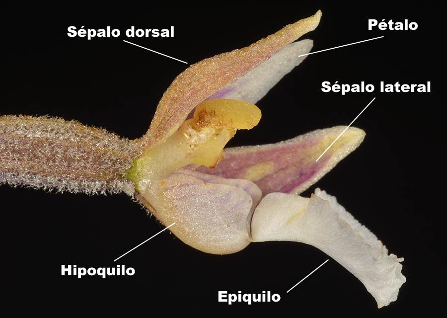 Epiquilo e hipoquilo de Epipactis palustris