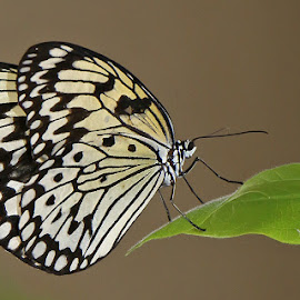 Tree Nymph by David Knox-Whitehead - Animals Insects & Spiders ( butterfly, macro, wing, insect, close up )