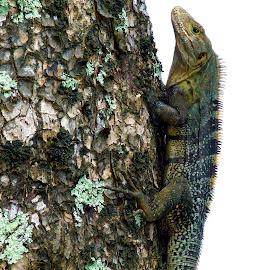 Tree Iguana by Donovan Twaddle - Animals Reptiles ( southern, estuary, tree, rio uvita, costa rica, pacific ocean, iguana, beach, zona sur, playa uvita )