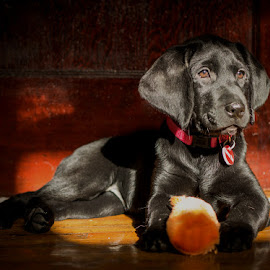 Amberley by Amy Vaughn - Animals - Dogs Puppies ( brown eyes, puppy, black lab, dog, puppy portrait )
