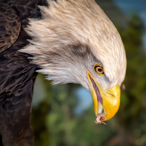 Bald Eagle Snacks by Bill Tiepelman - Animals Birds ( bird of prey, eagle, american eagle, bald eagle, sea eagle, feathers, bird, haliaeetus leucocephalus, details, beak, eating, southern bald eagle, eat, closeup, northern bald eagle, eye )