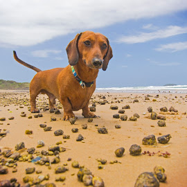 D Day by Jamie Robinson - Animals - Dogs Portraits ( dachshund, wiener, doxie, sausage dog )