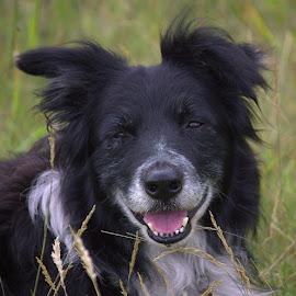 Grough, our old boy by Chrissie Barrow - Animals - Dogs Portraits ( collie, tongue, grass, white, grough, teeth, portrait, pet, fur, pink, border, dog, closeup, black )
