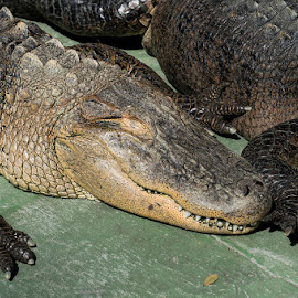 Gators Sunning  by Tim Williams - Animals Reptiles