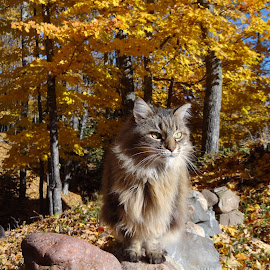 My Sweet Mellow! by Susan Rogala - Animals - Cats Portraits ( cat, autumn, colors, rockwall, forest, mainecoon )