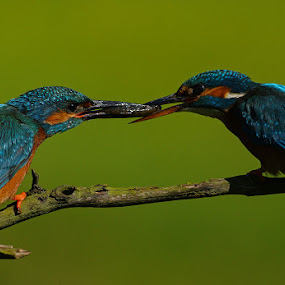 Kingfishers by Bob Rawlinson - Animals Birds ( kingfishers )