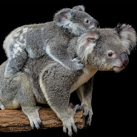 Koala & Cub by Troy Carroll - Animals Other Mammals
