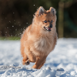 snow run by Michael  M Sweeney - Animals - Dogs Running ( speed, snow, michael m sweeney, nikon, dog, run, running, pomeranian, hugo )