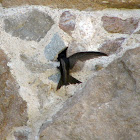 Vencejos/Common Swift