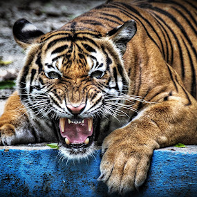 ANGRY.. by Andy Teoh - Animals Lions, Tigers & Big Cats ( big cat, zoo, tiger, andyteoh photography, animal )