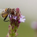 syrphidae fly