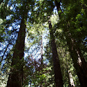 Redwood/ Sequoia