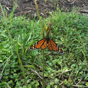 Wanderer or Monarch Butterfly