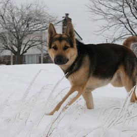 Zeke in winter by Daniel Bottoms - Animals - Dogs Playing ( home, winter, snow, german shepherd,  )