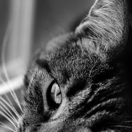 A cats life by Troy Snider - Animals - Cats Portraits ( cat, pet, black and white, animal )