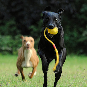 dogs playing by Oniram Reivar - Animals - Dogs Playing ( playing, black dog, winning, black dogs, podenco, running )