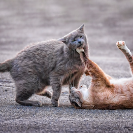 Sucker punch! by Andrew Lawlor - Animals - Cats Playing