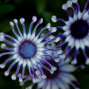 Painted African Daisy by Lynn Wiezycki - Nature Up Close Flowers ( osteospermum, blue, white, african painted daisy, daisy, flower )