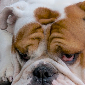 So Patient by Barbara Brock - Animals - Dogs Portraits ( english bulldog, bulldog, pet, dog,  )