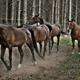 ... evening return by Katka Kozáková - Animals Horses ( ranch, horses, late afternoon, return, forest )