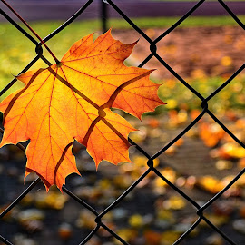 last hope by Abhinav Ganorkar - Nature Up Close Leaves & Grasses ( autumn, fences, leaves, maple leaves,  )