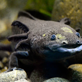 Axoloti by Robert Briggs - Animals Amphibians ( salamander, underwater, wildlife, gills, reptile, axoloti, amphebian )