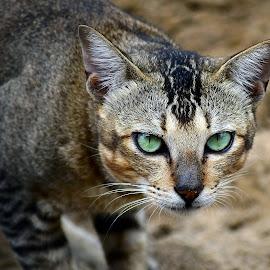 by AbngFaisal Ami - Animals - Cats Portraits