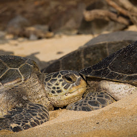 I Think I'll Rest Right HERE by M K - Animals Reptiles ( shell, sand, animals, sea creatures, flipper, beach, turtle shell, sea turtles, turtle, maui, resting, reptile, head, hawaii, animal )