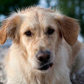 Ballou  by Suzana Svečnjak - Animals - Dogs Portraits