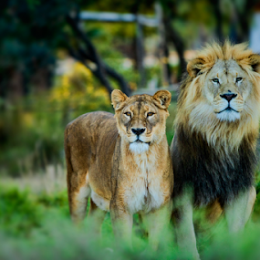 Couple of Lions by Cristobal Garciaferro Rubio - Animals Lions, Tigers & Big Cats ( lion, couple, lions )
