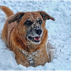 Dog in the snow by Doreen L - Animals - Dogs Portraits (  )