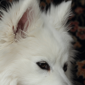 A Traditional Photo by Melanie Melograne - Animals - Dogs Portraits ( white dog, traditional dog portrait, american eskimo. dog portrait, #GARYFONGPETS, #SHOWUSYOURPETS )