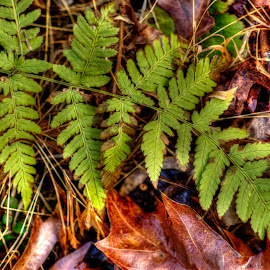 Fern on Leaves by Stan Lupo - Digital Art Things ( nature, hdr, autumn, nature up-close, leaves, ferns,  )